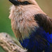 Perched African roller