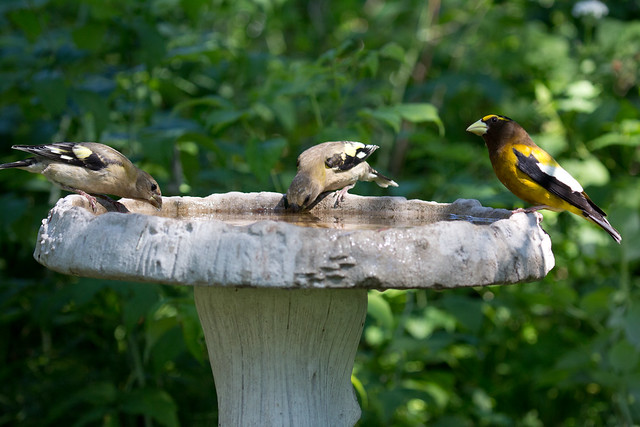 Evening Grosbeaks at birdbath