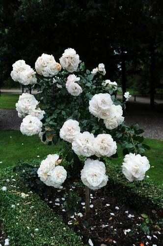 A Rose Bush