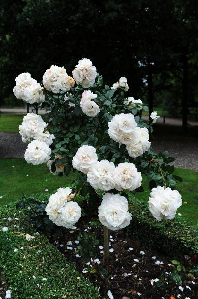 White Garden Rose Bush white rose bush | hoarcrosshallsparesort | flickr