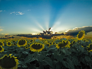 Sunflowers at Dusk | by (Nicole)