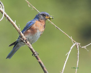 eastern bluebird | by starc283