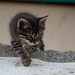 Stray Kitten Prowling, Sarigerme