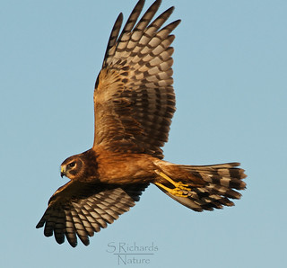 Northern harrier | by Through The Big Lens
