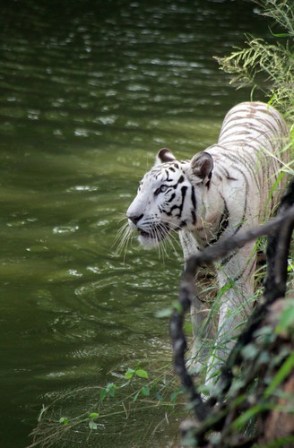White Tiger | by Nishant Chinnam