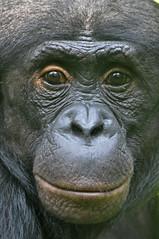 Chimpanzés – Il tuent pour le pouvoir mais pas les Bonobos