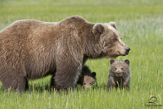 Brown Bear Mother and Cubs | by Glatz Nature Photography