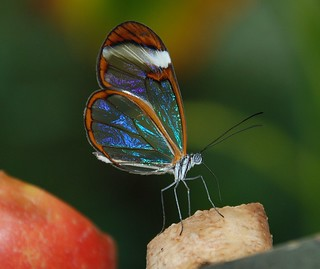 Glass Butterfly | by OWL62