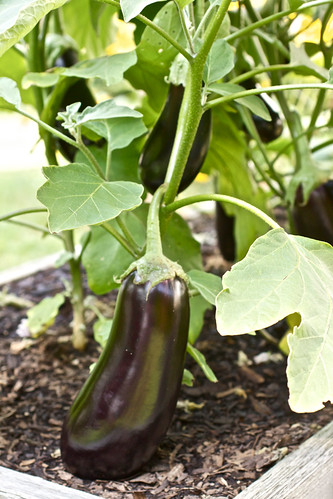 Eggplants in the garden. | by Smells Like Home