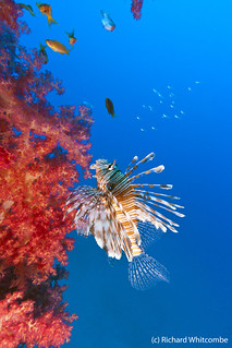 Lionfish next to a vivid red tree coral growing on the chain of a channel marker buoy | by WhitcombeRD