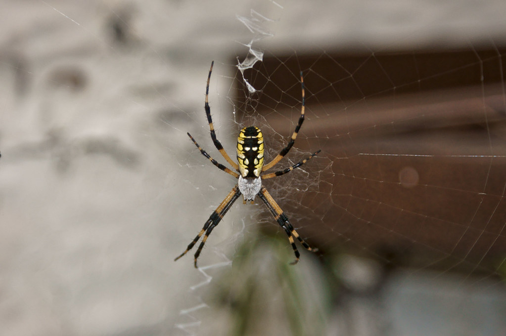 writing spider poisonous Yes, i grew up in ohio and saw plenty of the yellow orb spider that is commonly called banana spider note that the poisonous banana spider does not spin a web, and tends to be more brown than yellow.
