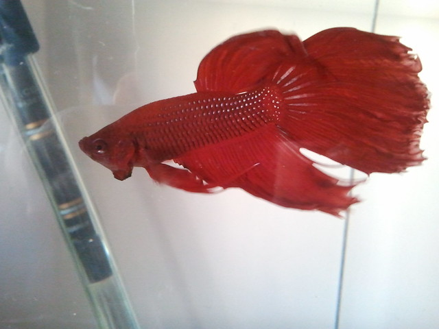 Red veiltail fighting fish betta explore llo3 39 s photos for Male veiltail betta fish