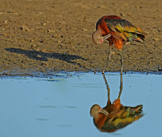 White-faced Ibis with reflection and shadow | by photosbyjoe