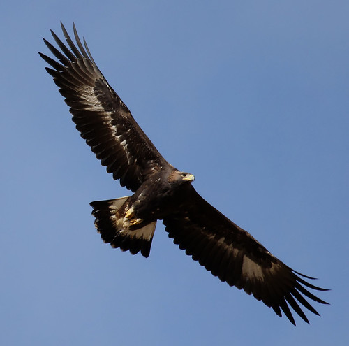 golden eagle | by hawk person