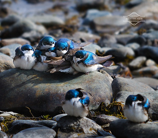 A 'Pile' of Tree Swallows | by kdee64