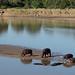 Hippos, Luangwa River
