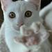 White Kitten 4