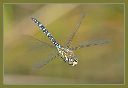 Flight Of The Migrant Hawker | by Full Moon Images
