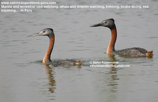 Great grebe Birding Peru (1) | by Nature Expeditions 04