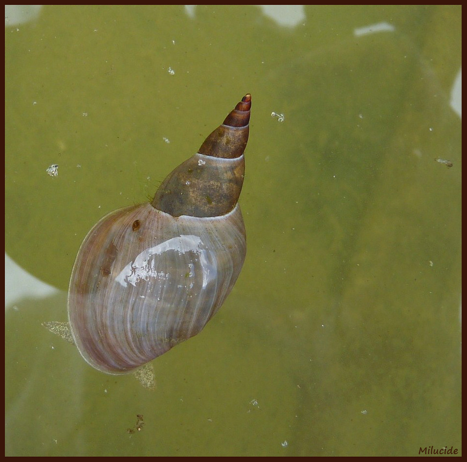 limn 233 e stagnalis escargot d eau douce cet esp 232 ce de moll flickr
