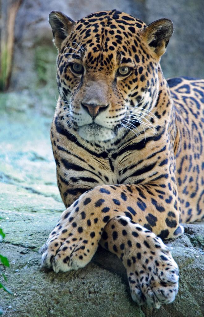 Jaguar Paws Crossed Yearbook Photo Eric Kilby Flickr