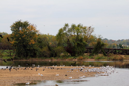 Crows and Gulls at Bladensburg | by Mr.TinDC
