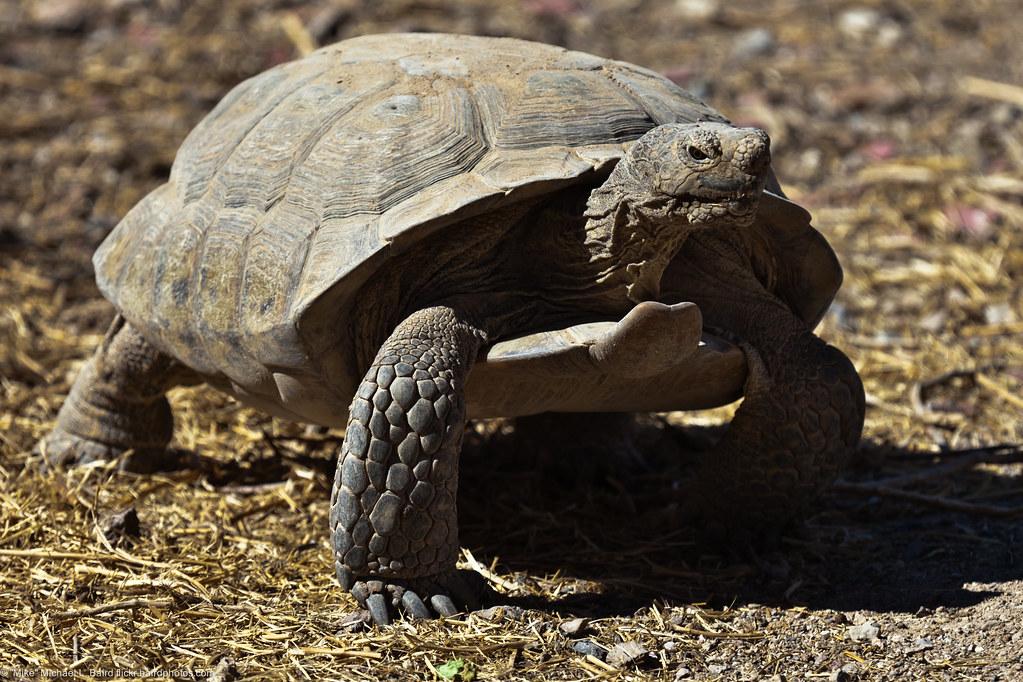 Captive Desert Tortoise Gopherus Agassizii Captive
