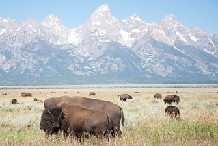 Buffalo jones | by Sam Beebe, Ecotrust