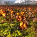 Very Happy Halloween - Pumpkin Day