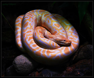 The fascinating Albino Burmese Python | by alphacentauri (I'M BACK!)