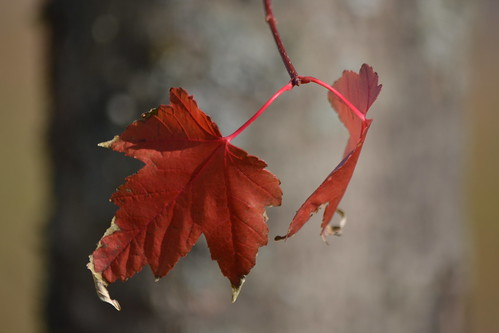 Maple leaves | by Trevdog67