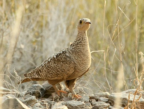 Double-banded Sandgrouse (Pterocles bicinctus) | by Alan Manson