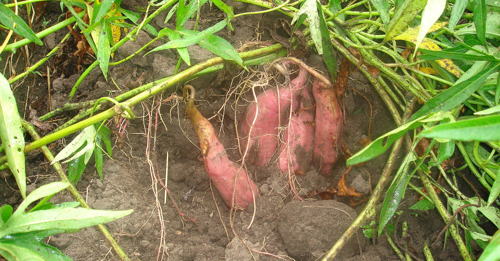 Do The Roots Make Or Store Food