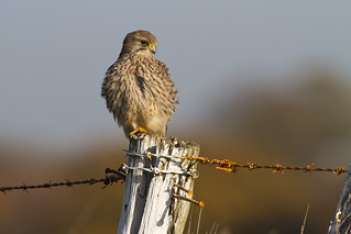 Kestrel | by Peter J Berry