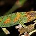 Johnston's Chameleon