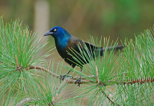 Grackle | by thoeflich