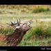 Red Deer.. Dream