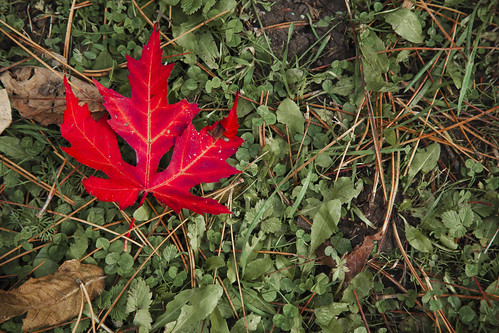 maple leaf | by wsquared photography & creative