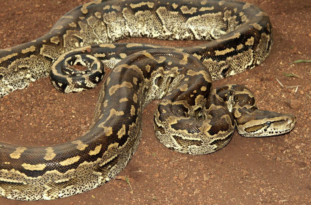African rock python essay