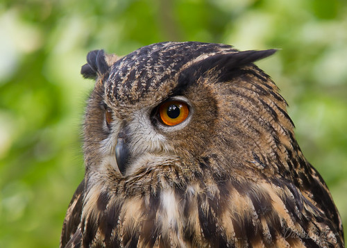 Eagle Owl | by dabski1970