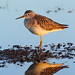 lesser yellowlegs1