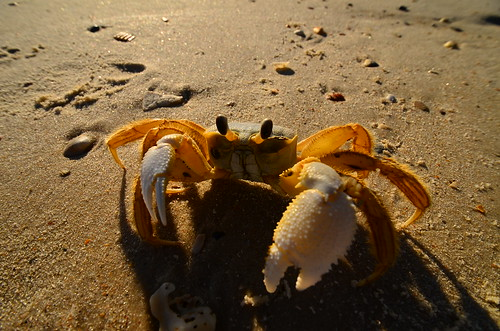 Sand Crab | by Coty Coghill