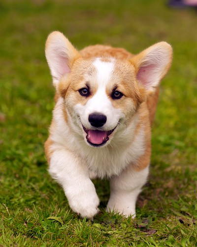 Corgi Puppies 47 | by evocateur