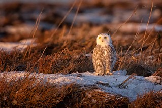 Snowy Owl at Sunrise | by ~TD Images~