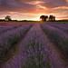 Sunrise at Alphra Lavender Farm, Te Awamutu.