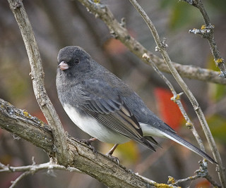 Slate-colored Junco | by pat-trick
