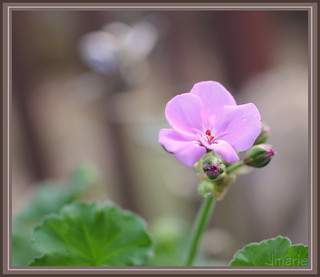 Blooming Geranium - Day 254 of 365 | by Jmarie999