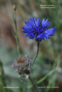 Bachelor's Button - Centaurea cyanus | by USWildflowers