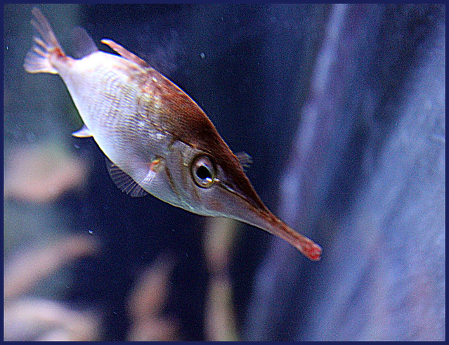 Long nosed fish flickr photo sharing for How long is fish good for