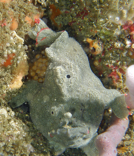 Sydney Anglerfish (Red-footed Frogfish) - (Undescribed anglerfish) | by Mick 61
